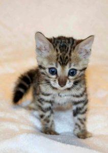 Bengal Zukunft Katzen