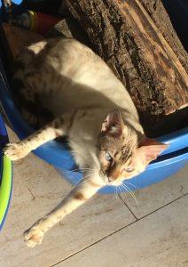 Bengal Zuchtkatzen