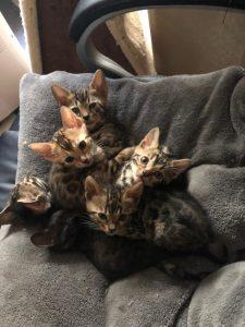 Kittenstube Wurf 06.08.2018
